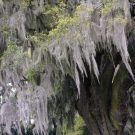 Beautiful Spanish Moss In Airlie Gardens 1